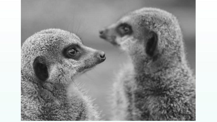 two grey meerkats