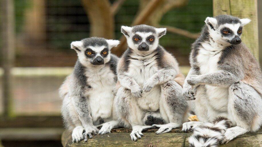Lemurs sitting at Battersea Zoo