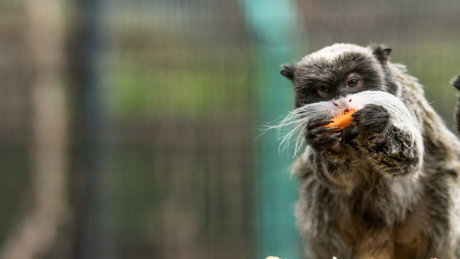 Emperor Tamarin eating at Battersea Zoo
