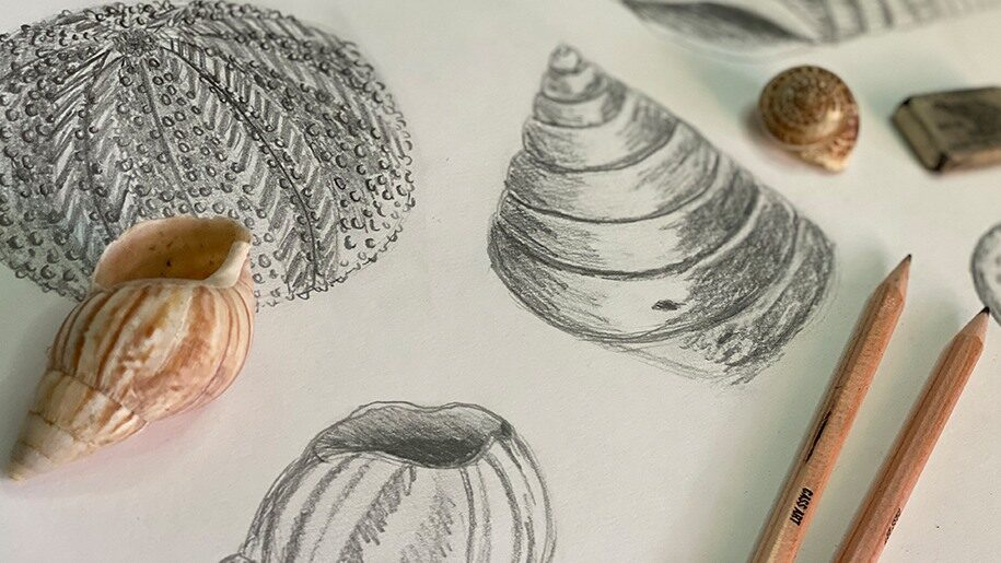 Cygnets St Ives - Pencil drawing of shells