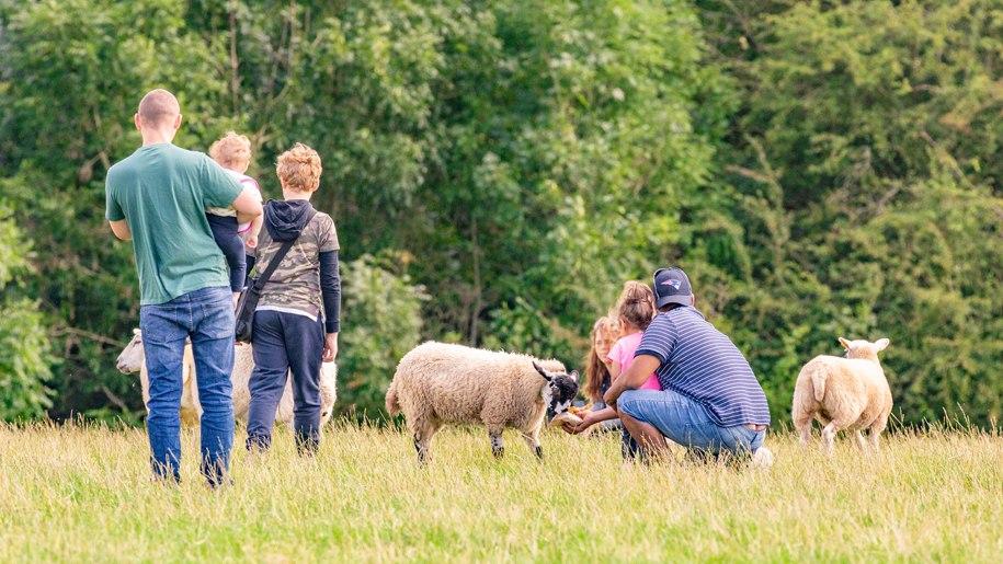 Families meeting sheep at Goodheart Summer Open Day