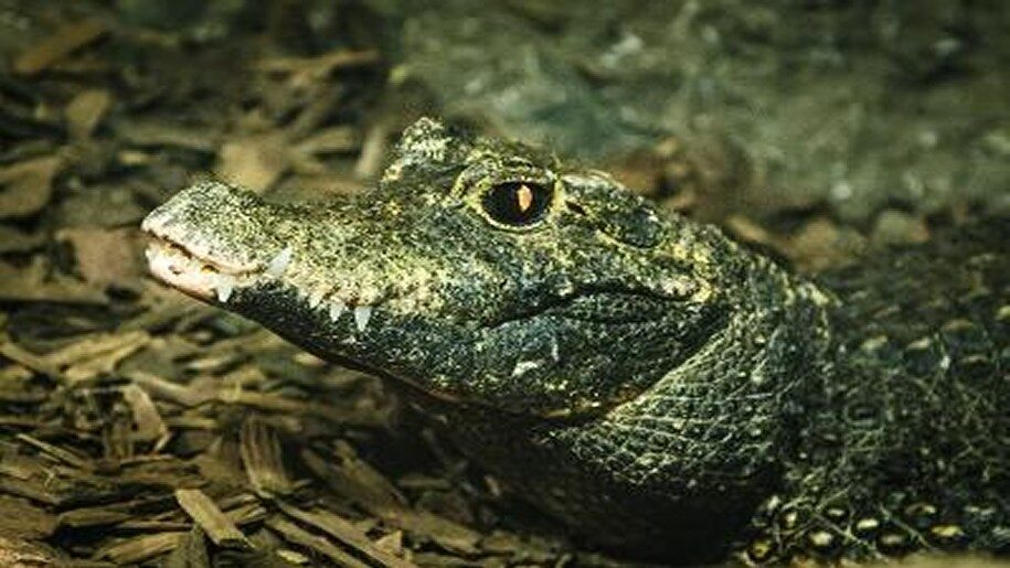 Crocodile out of water at SEA LIFE Great Yarmouth