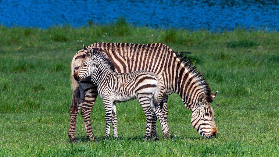 graxing Hartmanns zebra and baby zebra