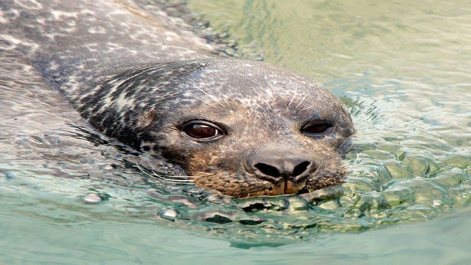 Seal swimming at SEA LIFE Hunstanton