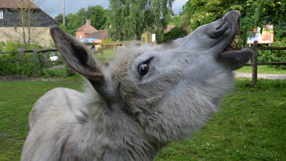 donkey smiling in the air Kent Life Heritage FArm