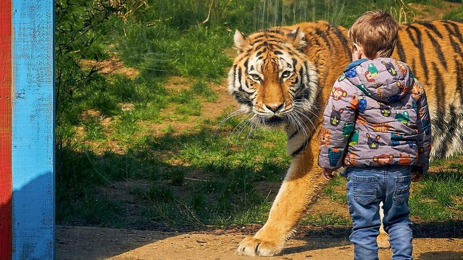 small child looking at tiger Paradise Wildlife Park