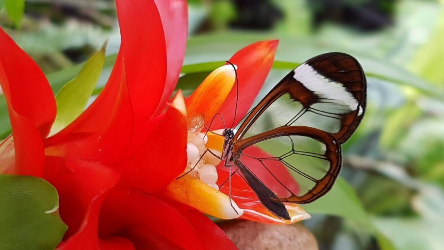 Glasswing butterfly at Stratford Butterfly Farm