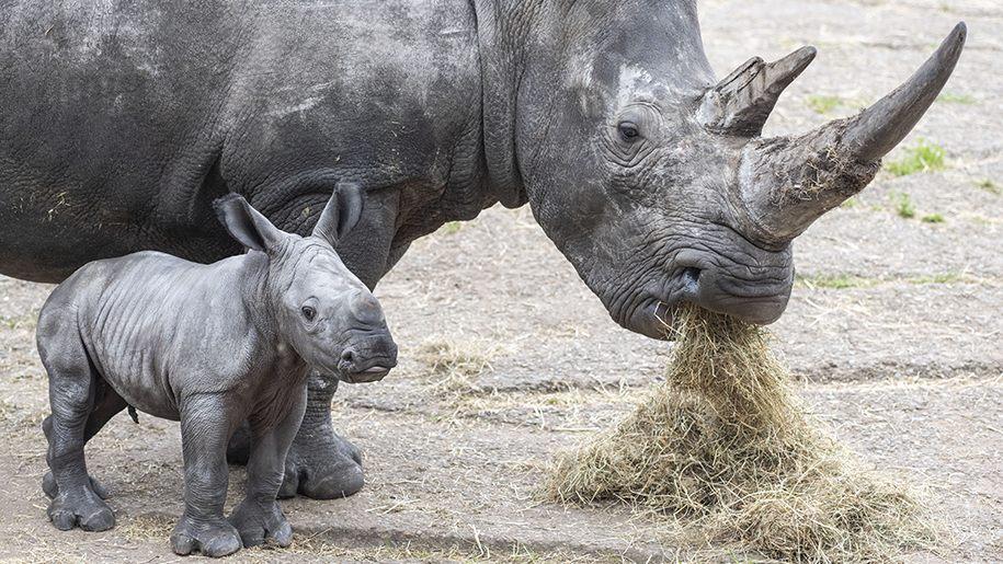 rhino and baby at West Midland Safari park