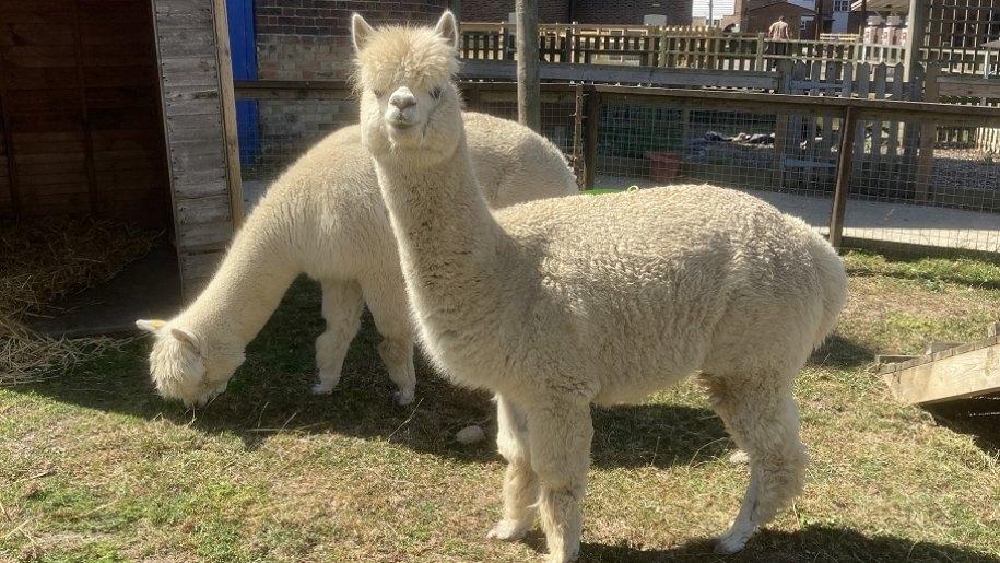 two lamas on a field at Hop Farm