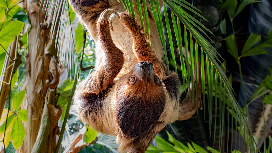 sloth hanging upside down at Marwell Zoo