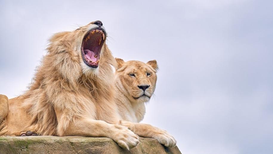 yawning lion Paradise Wildlife Park Cam Whitnall