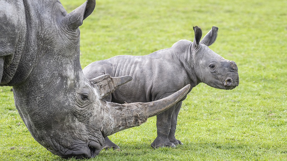 rhino and baby at West Midlands Safari Park