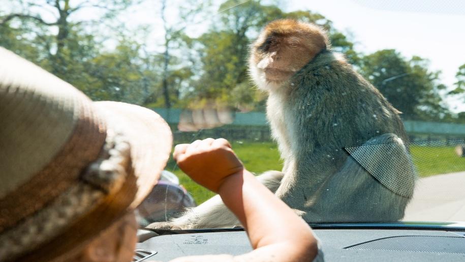 girl looking at monkey at Woburn Safari Park