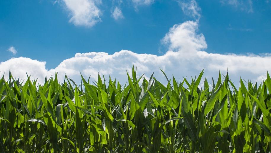 Maize growing at Lower Drayton Farm
