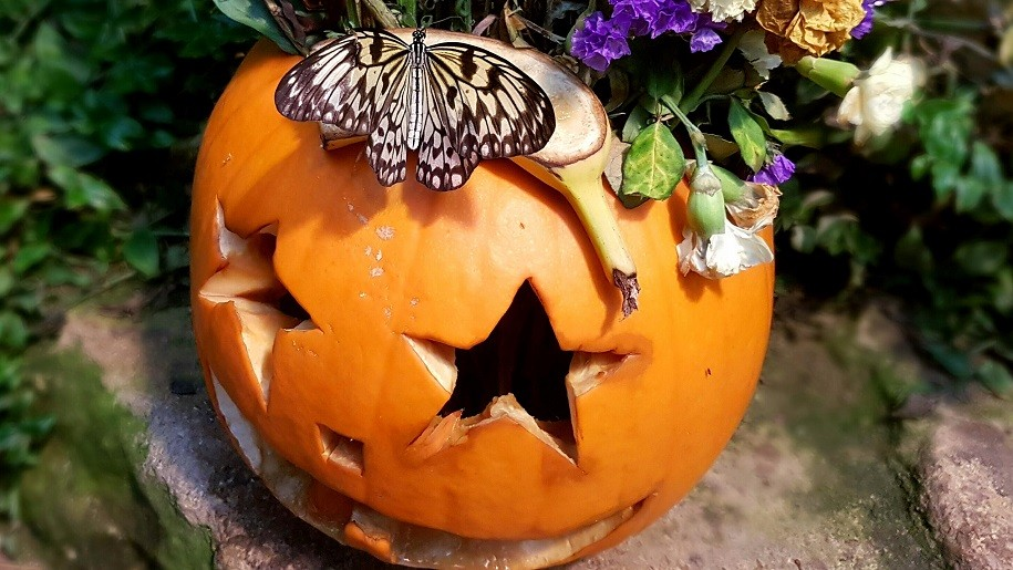 Butterfly sitting on carved pumpkin
