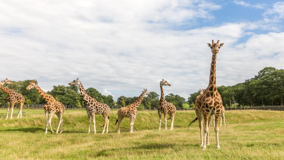 herd of giraffes at Woburn Safari Park
