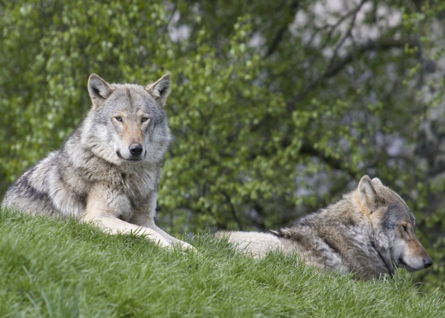 wolves at New Forest Wildlife Park